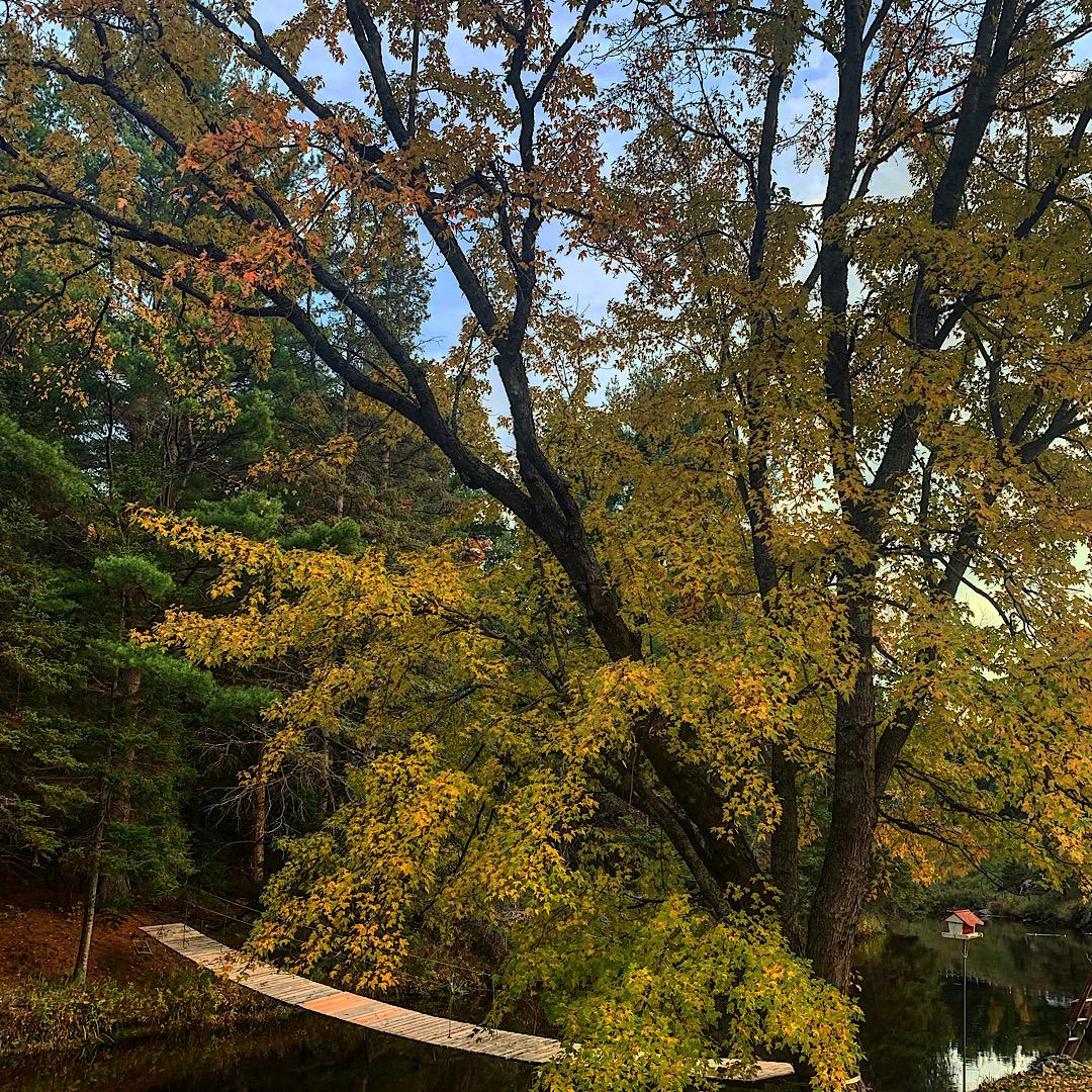 Eels Creek Maple Tree
